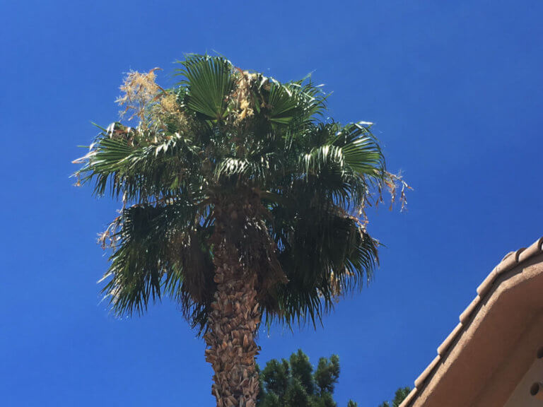 phoenix palm tree trimming