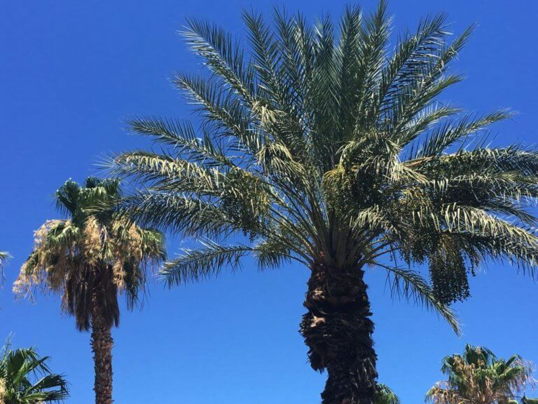 phoenix palm tree care