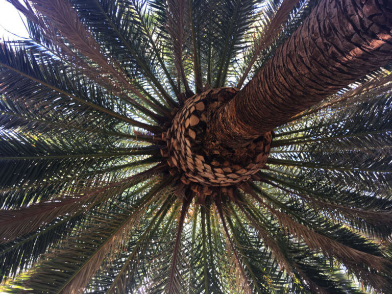 palm tree care phoenix